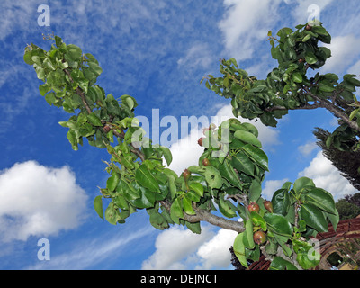 New summer pears growing on a mature tree at Barrington Ct near Ilminster, Somerset, England UK  TA19 0NQ in an - Stock Photo