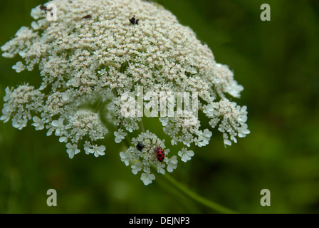 A ladybug sitting on a queen anne's lace flower - Stock Photo