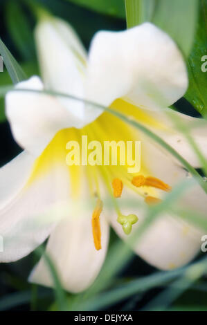 White Trumpet Lily. Lilium hybrid. July 2008. Maryland, USA. - Stock Photo
