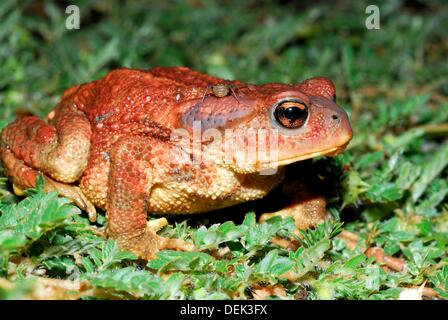 Common toad Bufo bufo in Patones, Madrid, Spain - Stock Photo