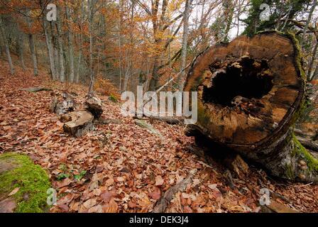 Log in a beech wood near Montejo de la Sierra, Madrid, Spain - Stock Photo
