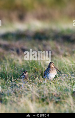 Common snipe (Gallinago gallinago) - UK - Stock Photo