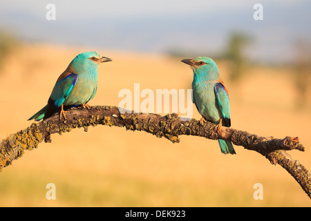 European Roller (Coracias garrulus) pair perched on branch. Lleida. Catalonia. Spain. - Stock Photo