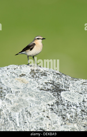 Northern wheatear (Oenanthe oenanthe) - Female, UK - Stock Photo