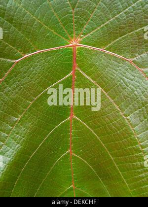 Leaf Of Teak Tree Tectona Grandis L F Stock Photo