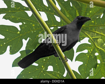 A house crow, Corvus Splendens is seating on a papaya tree Chiplun, Ratnagiri, Maharashtra, India - Stock Photo