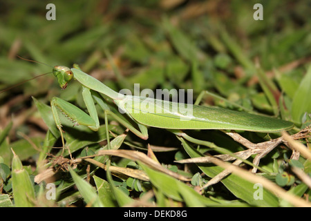 Mantid Camouflaged On Grass - Stock Photo