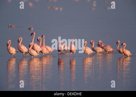 Lesser Flamingo, Phoenicopterus minor - Stock Photo