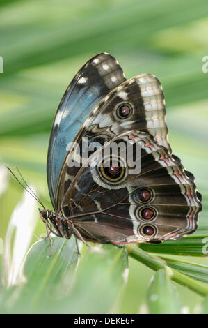 Morpho peleides butterfly. Mexico. - Stock Photo