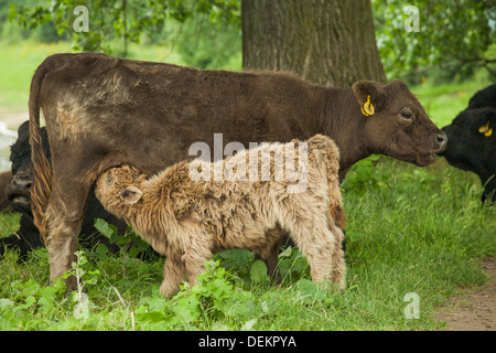 Galloway calf drinking from its mother in the grass - Stock Photo