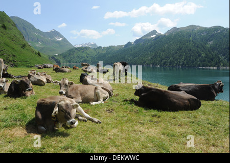 Cows near lake Ritom at Piora on the swiss alps - Stock Photo