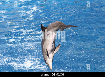 Bottlenose dolphin doing a somersault  at the Oceanografic Aquarium Marine Park & Zoo in Valencia, Spain - Stock Photo