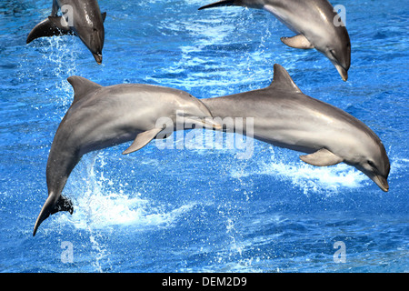 Bottlenose dolphin doing a somersault  at the Oceanografic Aquarium Marine Park & Zoo in Valencia, Spain - Stock Photo