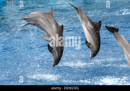 Bottle-nose dolphins doing somersaults  at the Oceanografic Aquarium Marine Park & Zoo in Valencia, Spain - Stock Photo