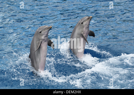 Bottle-nose dolphins moving backwards, supported by their tail at the Oceanografic Aquarium Marine Park & Zoo in - Stock Photo