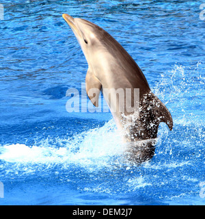 Bottle-nose dolphin out  of the water, performing at the Oceanografic Aquarium Marine Park & Zoo in Valencia, Spain - Stock Photo