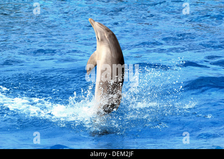 Series of 22 images of bottlenose dolphins performing at the Oceanografic Aquarium Marine Park in Valencia, Spain - Stock Photo
