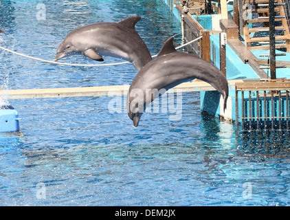 Bottle nose dolphins doing somersaults  at the Oceanografic Aquarium Marine Park & Zoo in Valencia, Spain - Stock Photo