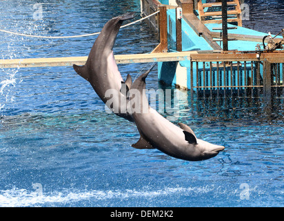 Bottle-nose dolphins doing jumps and somersaults at the Oceanografic Aquarium Marine Park & Zoo in Valencia, Spain - Stock Photo