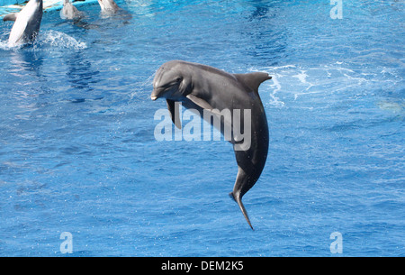 Bottle-nose dolphin doing somersaults  at the Oceanografic Aquarium Marine Park & Zoo in Valencia, Spain - Stock Photo