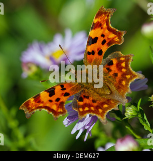 A comma butterfly - Stock Photo