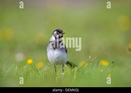 Pied Wagtail; Motacilla alba; Juvenile; Summer; UK - Stock Photo