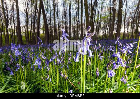 wild bluebells in wood, Micheldever, Surrey, England, UK - Stock Photo