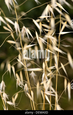 Avena fatua, wild Oat, species of grass in the Oat genus. Torrelles de Llobregat, Barcelona, Catalonia, Spain - Stock Photo