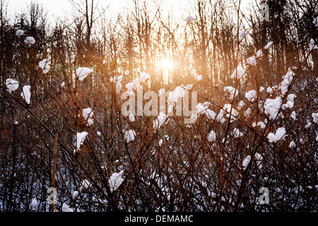 Setting sun shining through branches of bare trees in winter forest covered with snow - Stock Photo