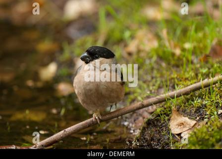 Female Bullfinch near water. - Stock Photo