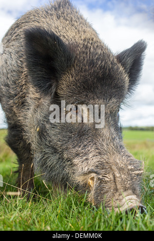 Close-up of an adult male wild boar (sus scrofa) feeding, low viewpoint - Stock Photo