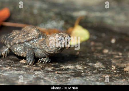 Baby snapping turtle - Chelydra serpentina - Stock Photo