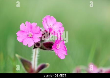 Red Campion; Silene dioica; Shetland; UK - Stock Photo