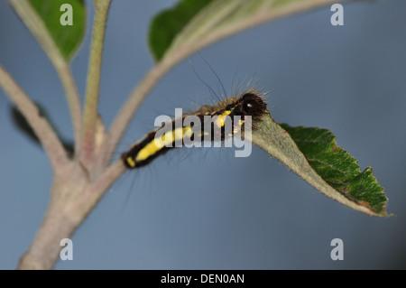 Grey Dagger catterpillar (Acronitcta psi) uk - Stock Photo