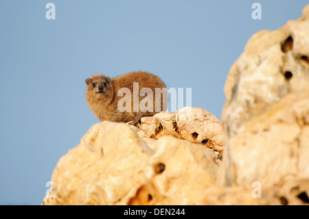 Rock hyrax ,Procavia capensis Resting on a rock - Stock Photo