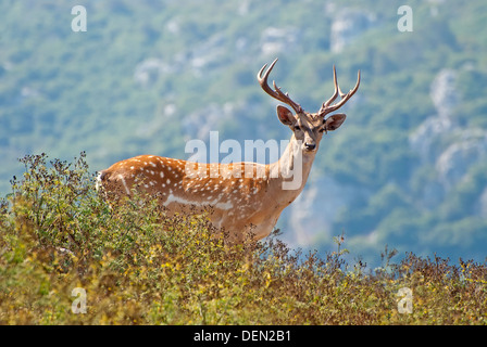 Persian Fallow Deer, Dama mesopotamica - Stock Photo