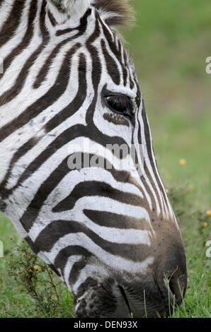 Plains Zebra, Equus quagga. Lake Navisha, Kenya, Africa - Stock Photo