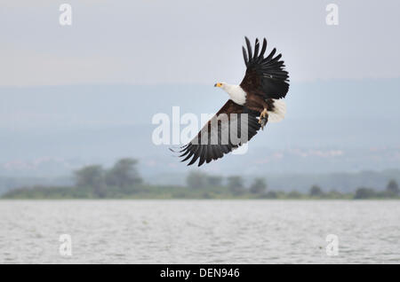 African Fish Eagle Haliaeetus vocifer catching a dead fish thrown to it by a tourist guide a Lake Navisha, Kenya, - Stock Photo