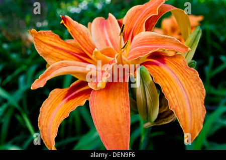Beautiful orange daylily flower.  Hemerocallis fulva. Daylilies in the garden. - Stock Photo