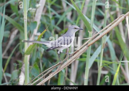 northern mockingbird (Mimus polyglottos) perched in bush, Everglades, Florida, USA - Stock Photo