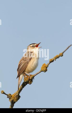 sedge warbler (Acrocephalus schoenobaenus) adult male singing from tree, Norfolk, England, United Kingdom, Europe - Stock Photo