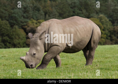 Knowsley Safari Park World Rhino Day.  22nd September, 2013.  Female Rhino calf at the The 'Save the Rhino'  event - Stock Photo