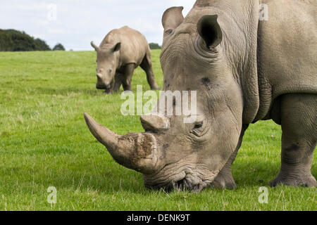 Knowsley Safari Park World Rhino Day.  22nd September, 2013.  Female Rhino and calf at the The 'Save the Rhino' - Stock Photo