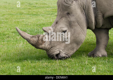 Knowsley Safari Park World Rhino Day.  22nd September, 2013.  Female Rhino at the The 'Save the Rhino'  event at - Stock Photo