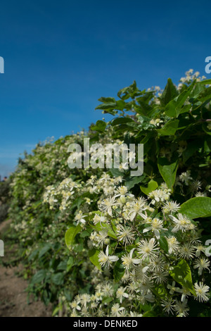 Wild clematis, clematis vitalba, - Stock Photo
