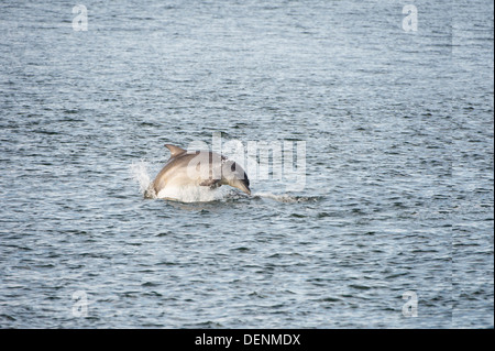 Common bottle nosed dolphin (Tursiops truncatus) - Chanonry Point, Scotland, UK - Stock Photo