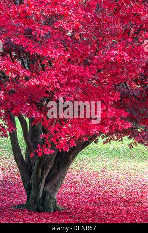 japanese maple,lake district; cumbria; england; uk; europe; - Stock Photo