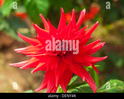 Indian close up flower bright red Kerala - Stock Photo