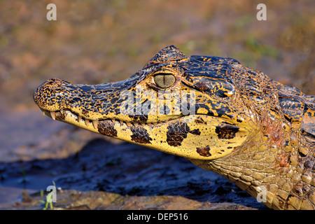 Brazil, Pantanal: Close-up of a young Yacare caiman (Caiman yacare) at riverside - Stock Photo