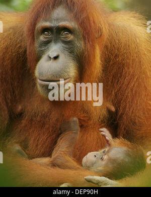 Orang-Utans (Pongo pygmaeus). Mother and baby. Gunung Leuser National Park. Indonesia - Stock Photo